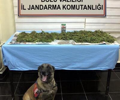 Gerede'de uyuşturucu yetiştirdiği iddia edilen kişi gözaltında