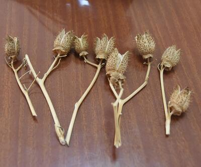 Tatula bitkisi zehir saçıyor