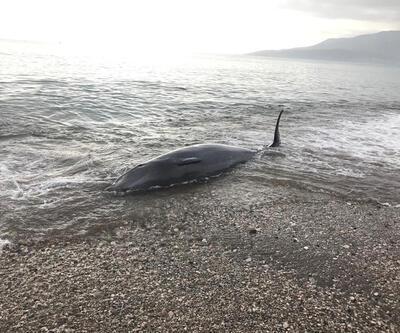 Antalya'da kıyıya vuran balina, kurtarılarak denize bırakıldı