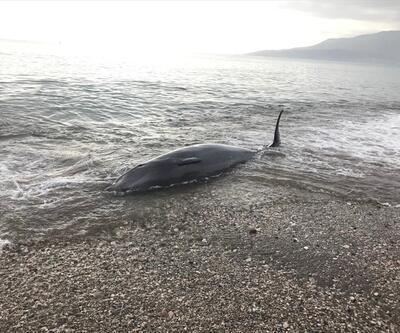 Gözüne batan kanca nedeniyle sahile vuran yunus kurtarıldı