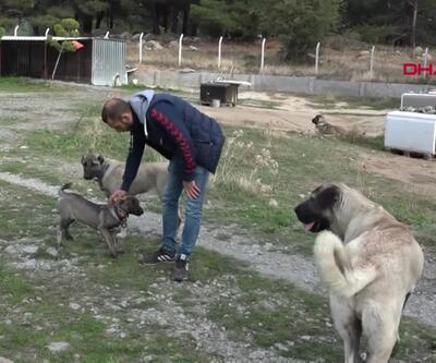 Kangal köpeklerine büyük ilgi