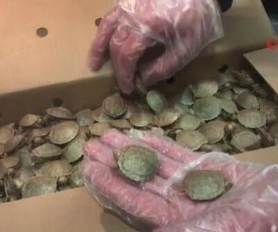 Pizza kutusunda kaplumbağa