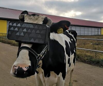 VR gözlüklü inekler daha kaliteli süt vermeye başladılar