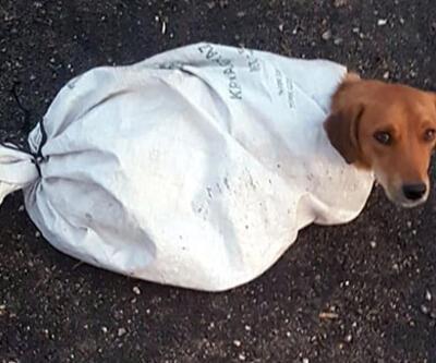İnsanlık dışı olay! Hamile köpeği çuvala koyup yola attılar
