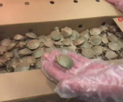 Pizza kutularında 3400 kaplumbağa