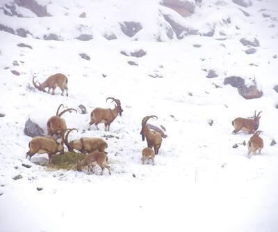 Korumaya alınan yaban keçisi sayısı ikiye katladı