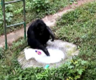 T-shırt yıkayan şempanze görenleri şaşkına çevirdi