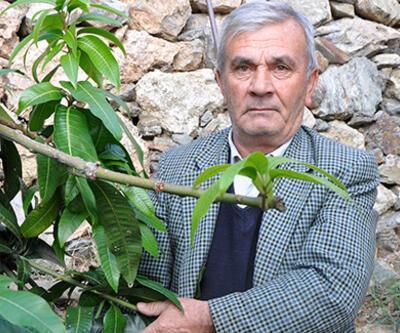 12 mango ağacından 45 bin lira para kazandı