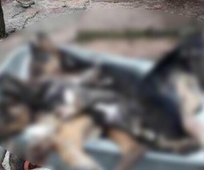 İnsanlık dışı görüntü! 6 köpek zehirlenerek öldürüldü