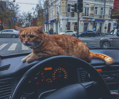 Ukrayna'nın en popüler taksisi: Kedili taksi