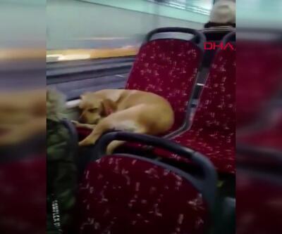 Şoförün otobüse aldığı köpek koltukta uyuyakaldı
