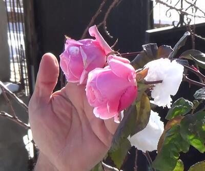 Kış ortasında güller açtı