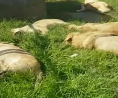 İnsanlık dışı olay! 'Büyü' için aslanları katlettiler