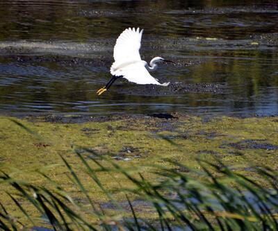 Nesli tükenme tehlikesi altındaki kuşlar Kızılırmak Deltası'nda