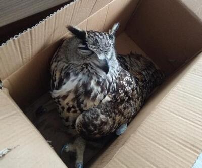 Arazide yaralı bulunan puhu kuşu, tedaviye alındı