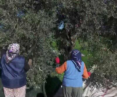 Ağaçlardaki son zeytinler toplanıyor