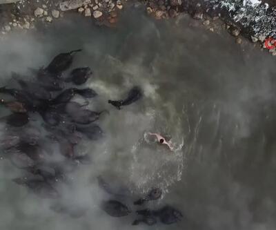 Bitlisli çoban mandalarını kaplıcada yıkıyor
