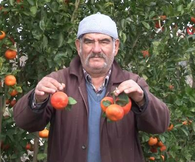 Mandalinalar erken meyve verdi