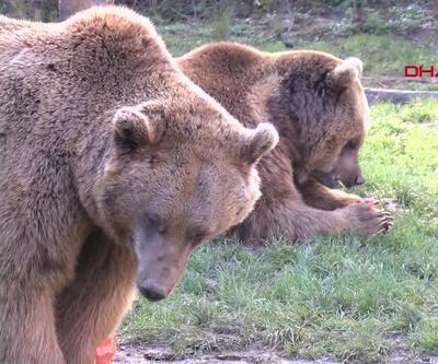 Uykusuz ayılara özel beslenme