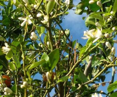 Portakal ağacı çiçek açtı