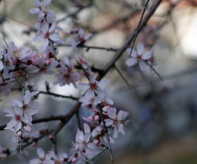 Fethiye'de badem ağaçları çiçek açtı