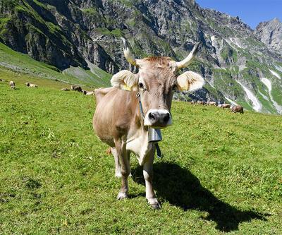 İsviçre'de ilginç referandum: İnekler boynuzlu mu olsun, boynuzsuz mu?