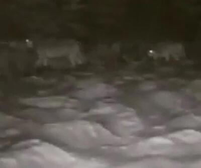 Erzurum'da aç kalan kurt sürüsü köye indi