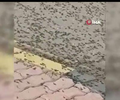 Karınca istilası kıyamet alameti mi? Umman karınca istilası ile mücadele ediyor