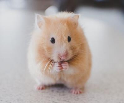 Korona hastalarının virüs yükünü azaltmanın yolunu hamster gösterdi