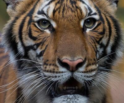 Koronavirüste bir ilk görüldü: Hayvanat bahçesindeki kaplanın testi pozitif çıktı!