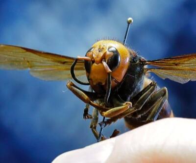"""Simpsonlar ABD'deki """"Katil arıları"""" da bildi iddiası"""