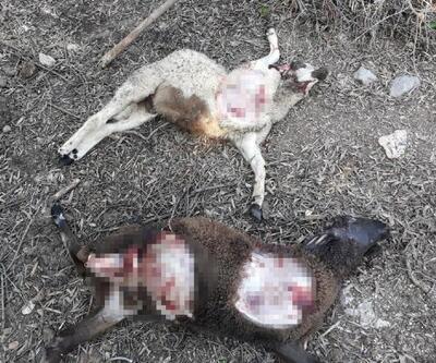 İki koyun, yırtıcı hayvan saldırısında telef oldu