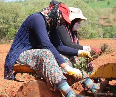 Beyşehir'de kadın eliyle 'kekik' üretiliyor