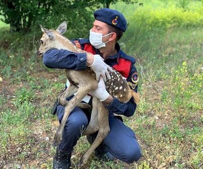 Jandarma, bitkin bulunan geyiğin üzerine mont örtüp, biberonla besledi