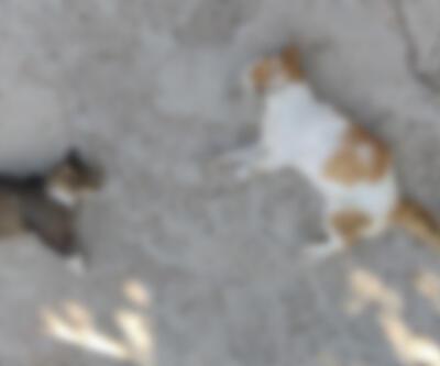 12 kedi ve 3 köpek zehirli etle öldürüldü
