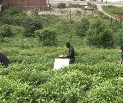 Yurt dışından işçi gelemeyince onlar hasada gitti | Video