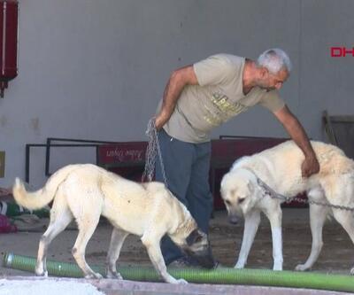 8 köpek hırsızlık için zehirlendi | Video