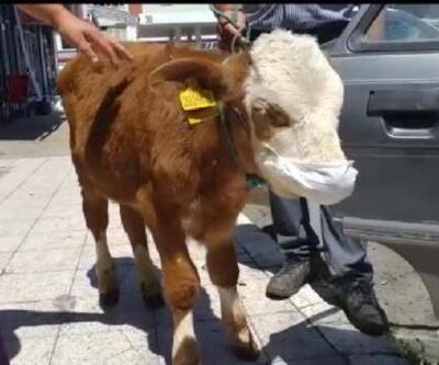Hastalanan buzağıyı maske takıp veterinere götürdü