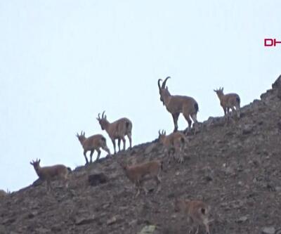 Milli Parklar'dan dağ keçilerinin avlanması ile ilgili yeni açıklama | Video