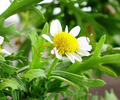 3 bin yılda açtığına inanılan 'udumbara' çiçeği Bursa'da görüldü