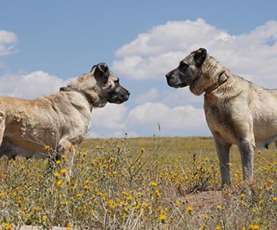 Son dakika... Kangal köpeklerine çipli takip geliyor | Video