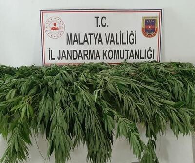 Malatya'da 1530 kök kenevir ele geçirildi