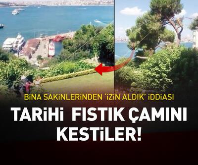 Boğaz'daki tarihi fıstık çamını kestiler!