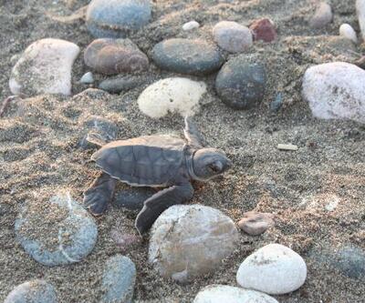 Son dakika.. Caretta caretta yavruları denizle buluşuyor