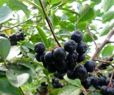 Karadeniz'in yeni meyvesi