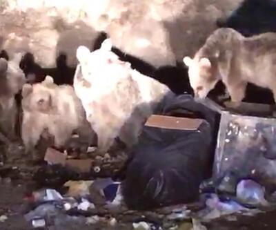 Boz ayılar sokaklarda görülmeye başlandı | Video