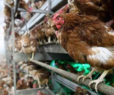 Yüz binlerce hayvan itlaf edildi
