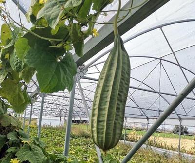Ankaralı çiftçi 'tropikal bamya' yetiştirdi