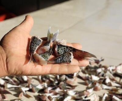 Balon balığı kuyruğu getirene 5 lira | Video