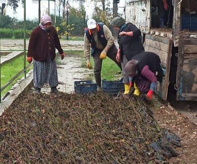 Hatay'da üreticilere ıhlamur fidanı dağıtıldı